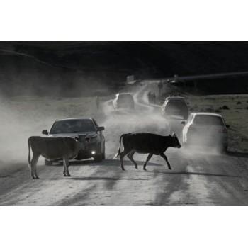 Штрафстоянка для коров
