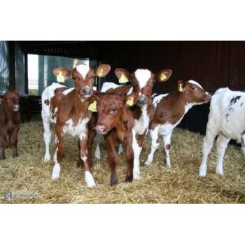 Фермеры Павлодара планируют получать ежегодно по 30 телят от одной коровы